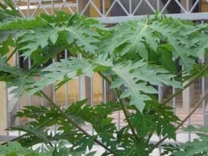 papaya-leaf