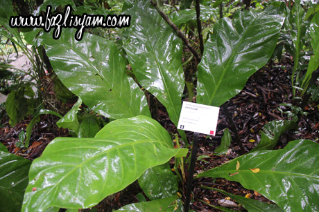 giant-anthurium1