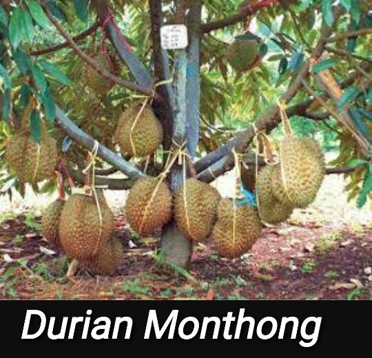 324durian-monthong