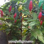 Alpinia Merah @ Red Ginger