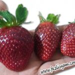 Buah Strawberry Cameron Highlands
