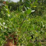 Pokok Inai - Lawsonia Inermis