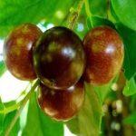 Pokok Rukam - Flacourtia inermis
