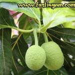 Buah Sukun-Breadfruit