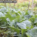 Tanaman Kailan - Brassica alboglabra