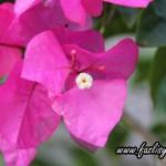 Membiak tanaman hiasan ~bunga kertas