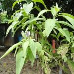 Pokok Sembung