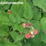 Pokok Beri Hitam @ Black berry