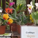 Gambar Orkid Cattleya