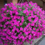Tanaman Bunga Semusim