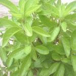 Pokok Sambung Nyawa menurunkan tekanan darah tinggi