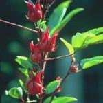 Khasiat Herba dari Roselle kering, Bunga ros kering, Peria kering, Kurma, Halia dan Teh hijau