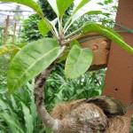 Pokok Sarang Semut