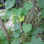 Pokok Patawali