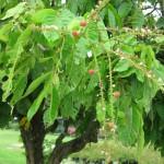 Pokok Buah apa ni ?