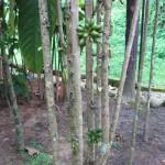 Pokok Selada