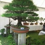 Pokok Bonsai