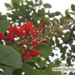 Laksana Bunga dedap, Sungguh Merah Tidak Berbau