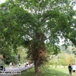 Pokok Peluru Meriam @ Cannonball Tree