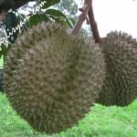 Jenis Durian yang anda suka