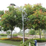 Pokok Kasai