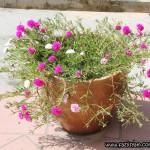 Bunga Ros Jepun