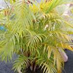 Pinang Kuning