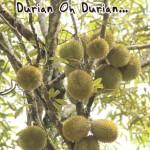 Durian Thailand