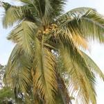 Pokok Kelapa dan Pantun