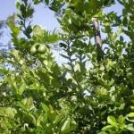 Pokok Limau Telur Buaya