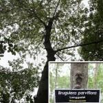 Pokok Lenggadai