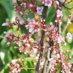 Khasiat Bunga dan Daun Belimbing