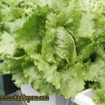 Jenis Salad di Pasaran