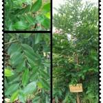 Pokok Merlimau