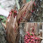 Bunga Salak