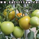 Khasiat Buah Tomato