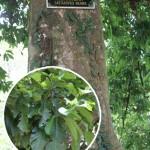 Pokok Berangan