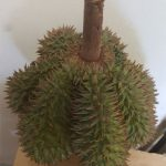 Durian Belimbing