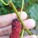 Buah Mulberry
