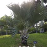 Pokok Palma Latania