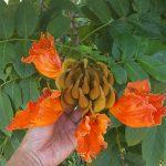Pokok Pancut-pancut