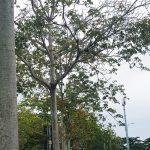 Pokok Kelumpang Jari