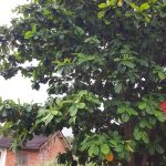 Pokok Ketapang