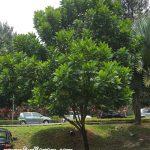 Pokok Kiara Payung @ Fern Tree