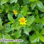 Bunga Wedelia Kuning