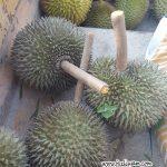 Durian Tangkai Panjang