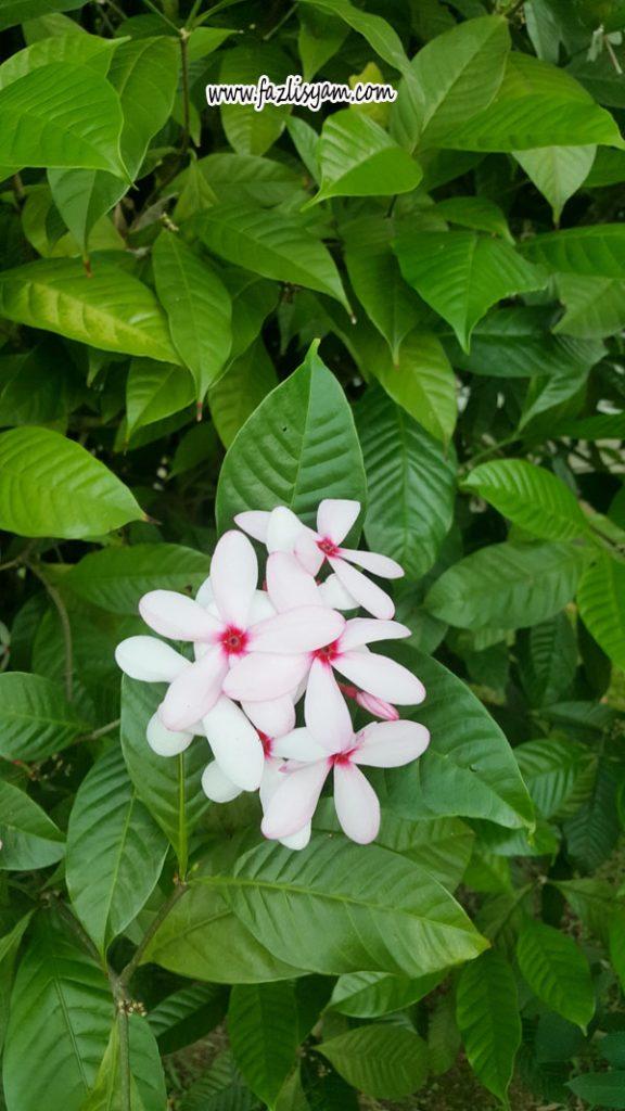 Bunga Kopsia