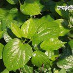 Pengalaman dalam Penggunaan Herba
