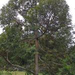 Pokok Durian Musang King
