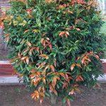 Pokok Kelat Paya
